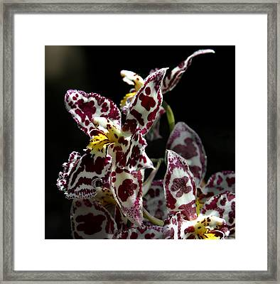 Cribet Exotic Orchids Framed Print