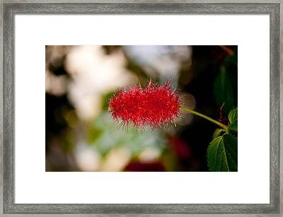 Framed Print featuring the photograph Crimson Bottle Brush by Tikvah's Hope