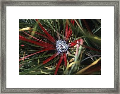 Crimson Bromeliad (fasicularia Bicolor) Framed Print by Adrian Thomas