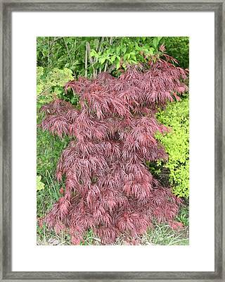 Crimson Waterfall A Japanese Maple Framed Print by James Collier