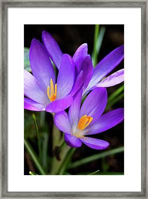 Crocus Flower Framed Print by Andrew Dernie
