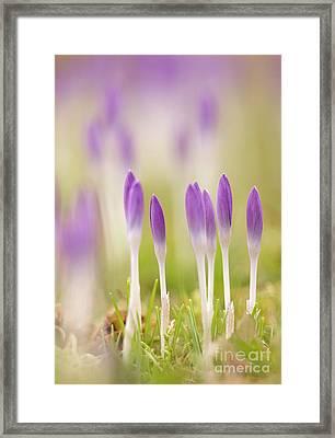 Crocus Flowers (crocus Tommasinianus) Framed Print