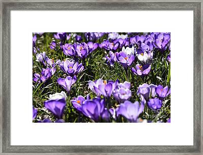 Crocus In Bloom Framed Print by Thomas R Fletcher