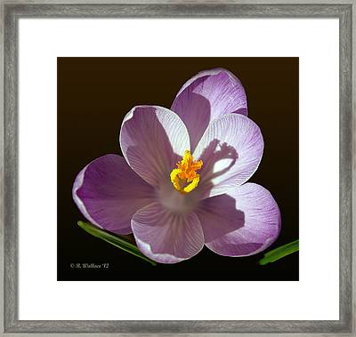 Crocus In Full Bloom Framed Print by Brian Wallace