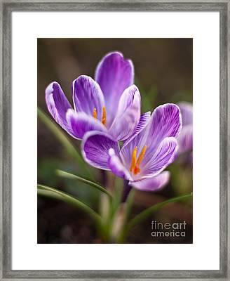 Crocus Spring Framed Print by Mike Reid