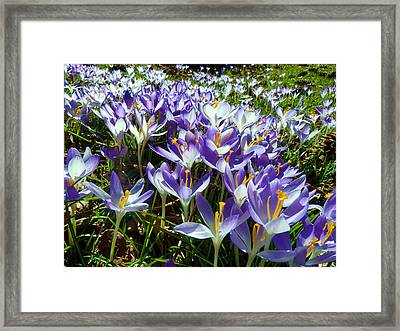 Crocuses Framed Print by Janice Drew