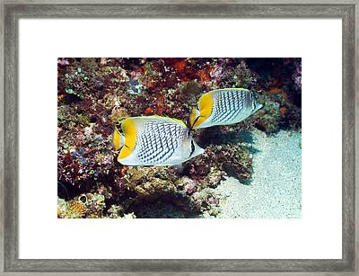 Cross-hatch Butterflyfish Framed Print by Georgette Douwma