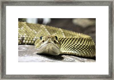 Crotalus Basiliscus Framed Print by JC Findley