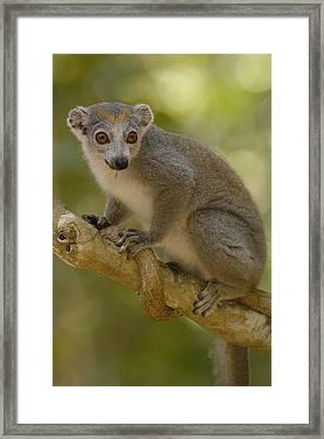 Crowned Lemur Eulemur Coronatus Female Framed Print by Pete Oxford