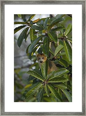 Crowned Lemur Eulemur Coronatus Male Framed Print by Pete Oxford