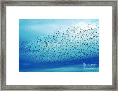 Crows On The Move Framed Print