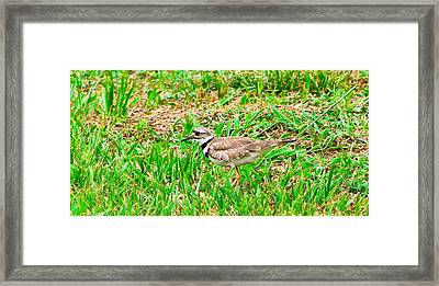 Crucian Stilt  Framed Print by David Alexander