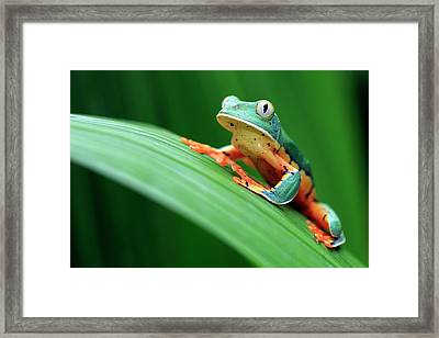 Cruziohyla Calcarifer Framed Print by Mlorenzphotography