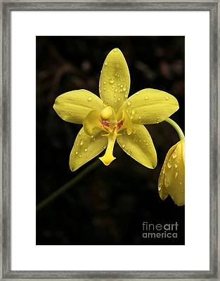 Crying Orchid Framed Print by Sabrina L Ryan
