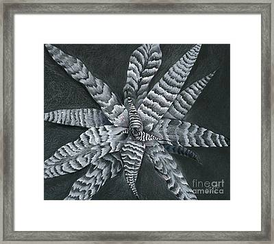 Cryptanthus Absolute Zero Framed Print by Penrith Goff