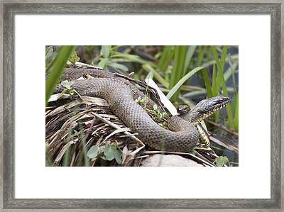 Framed Print featuring the photograph Cuddling Snakes by Jeannette Hunt
