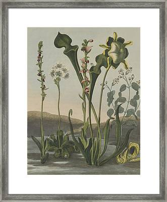 Curious American Bog Plants Framed Print by Robert John Thornton