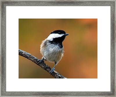 Curious Black-capped Chickadee Framed Print