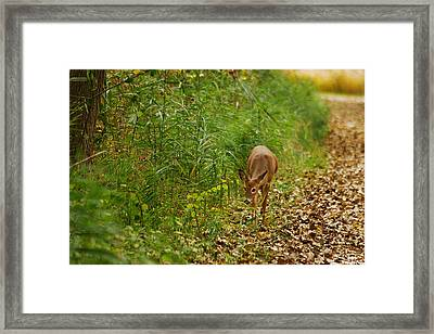 Curious Doe 9838 Framed Print by Michael Peychich