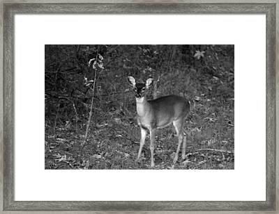 Curious Fawn Framed Print by Jake Busby