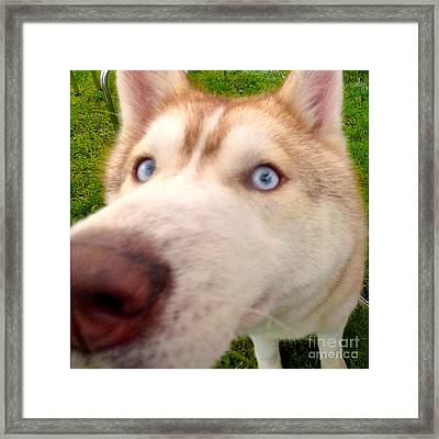 Curious Husky Framed Print by Alene Sirott-Cope