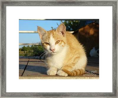 Framed Print featuring the photograph Curious Kitten by Jim Sauchyn