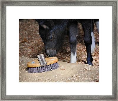 Curious Miniature Pony Framed Print by Jai Johnson