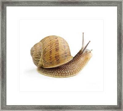 Curious Snail Framed Print by Elena Elisseeva