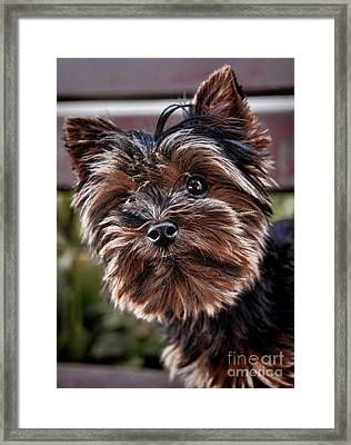 Curious Yorkshire Terrier Framed Print by Mariola Bitner