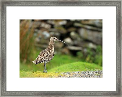 Curlew  Framed Print by Clare Scott