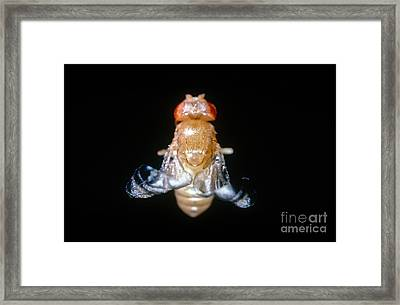 Curly Winged Drosophila Framed Print by Science Source