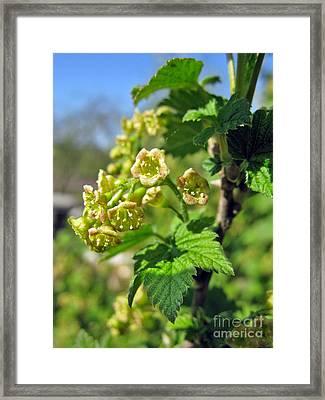 Currant In Bloom Framed Print by Ausra Huntington nee Paulauskaite