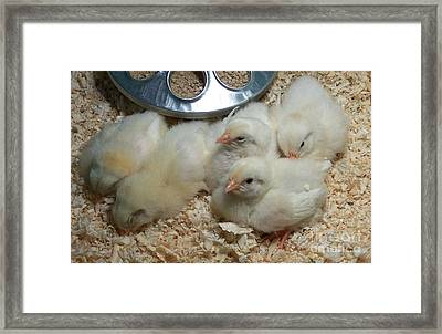 Framed Print featuring the photograph Cute And Fuzzy Chicks by Chalet Roome-Rigdon