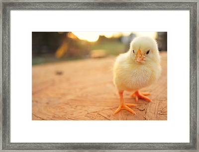 Cute Baby Chicks Framed Print by Justin Gilliland Photography; just a kid in high school