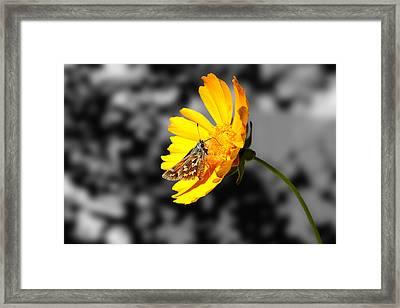 Cute Butterfly On Yellow Gerbera Daisy Framed Print