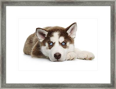 Cute Holiday Christmas Tired Puppy Framed Print by Chris Stein