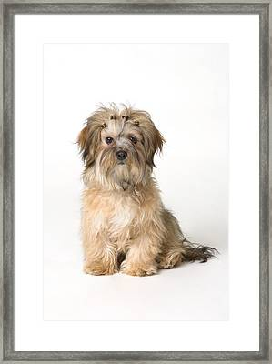 Cute Miniature Terrier Framed Print by Corey Hochachka