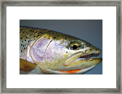 Cutthroat Trout From The Bitterroot River Framed Print by Merle Ann Loman