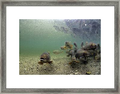 Cutthroat Trout School In Lake Framed Print by Michael S. Quinton