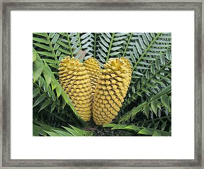 Cycad Cones Framed Print by Tony Craddock