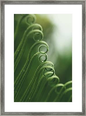 Cycas Revoluta Framed Print