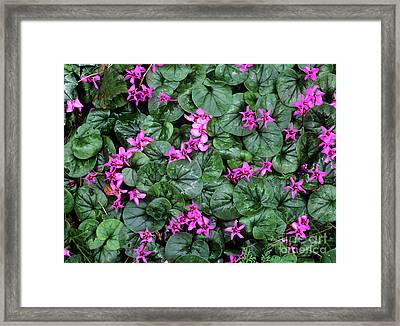Cyclamen Flowers (cyclamen Coum) Framed Print by Bob Gibbons