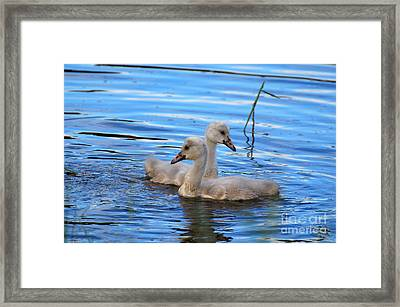 Cygnet Siblings Framed Print by Whispering Feather Gallery