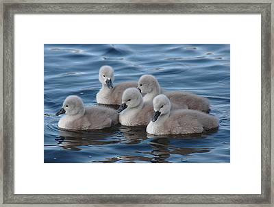Cygnets At Menlo Pier Framed Print