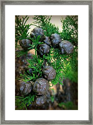 Cypress Seed Pods Framed Print by Cindy Wright