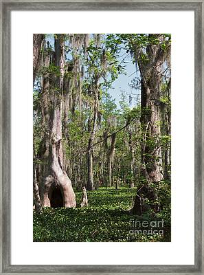 Cypress Trees And Water Hyacinth In Lake Martin Framed Print by Louise Heusinkveld