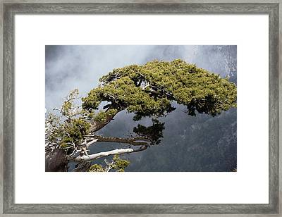 Cypresses (cupressus Sempervirens) Framed Print by Bob Gibbons