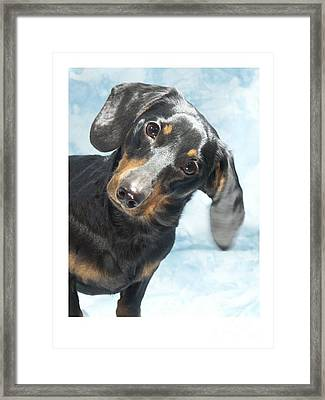 Dachshund 441 Framed Print by Larry Matthews