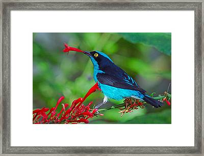 Dacnis Lineata Framed Print by Luis Esteves