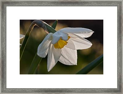 Daffodil Closeup Framed Print by Ron Smith